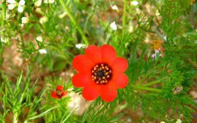 Une fleur rouge dans un jardin au Maroc
