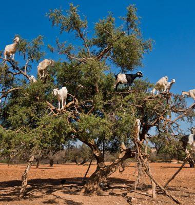 Des chèvres perchées dans un arganier